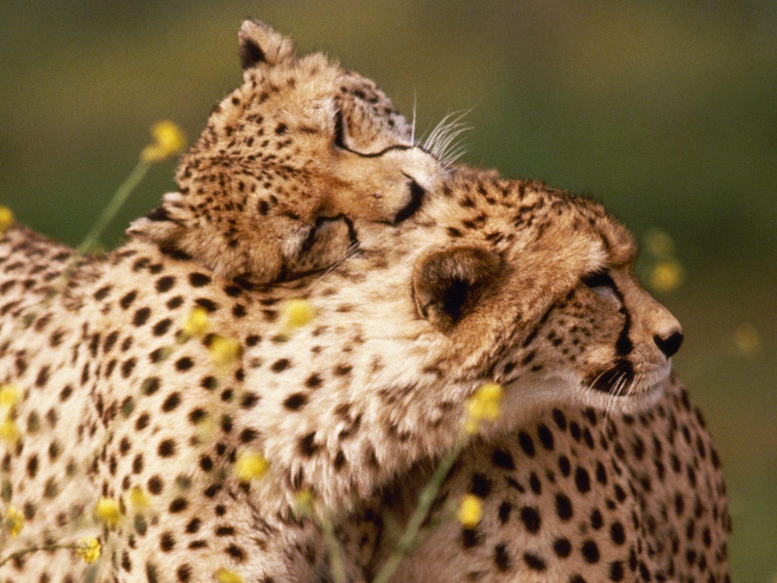 affectionate cheetahs wallpapers - Affectionate Cheetahs Wallpapers HD Wallpapers