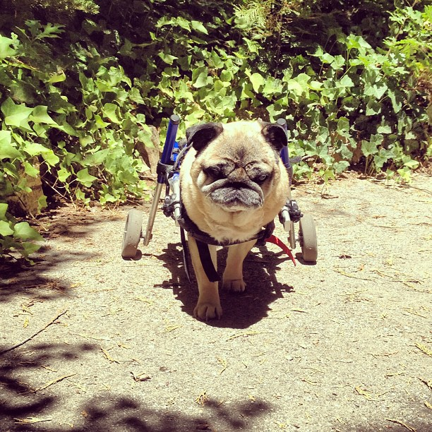 Pug in Wheels, doggy wheelchair