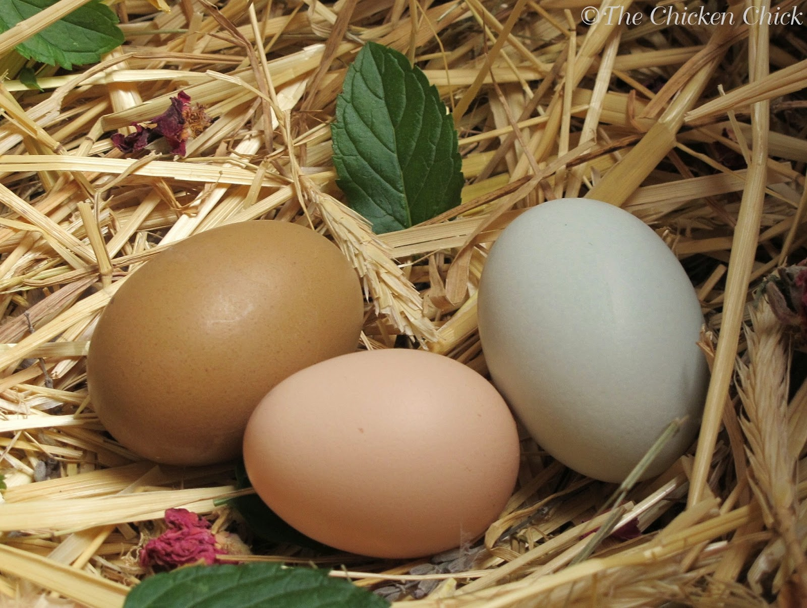 the chicken 8 tips for clean eggs from backyard chickens