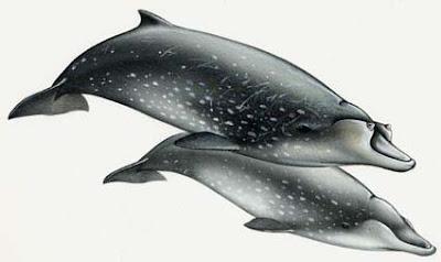 ballena picuda Mesoplodon densirostris
