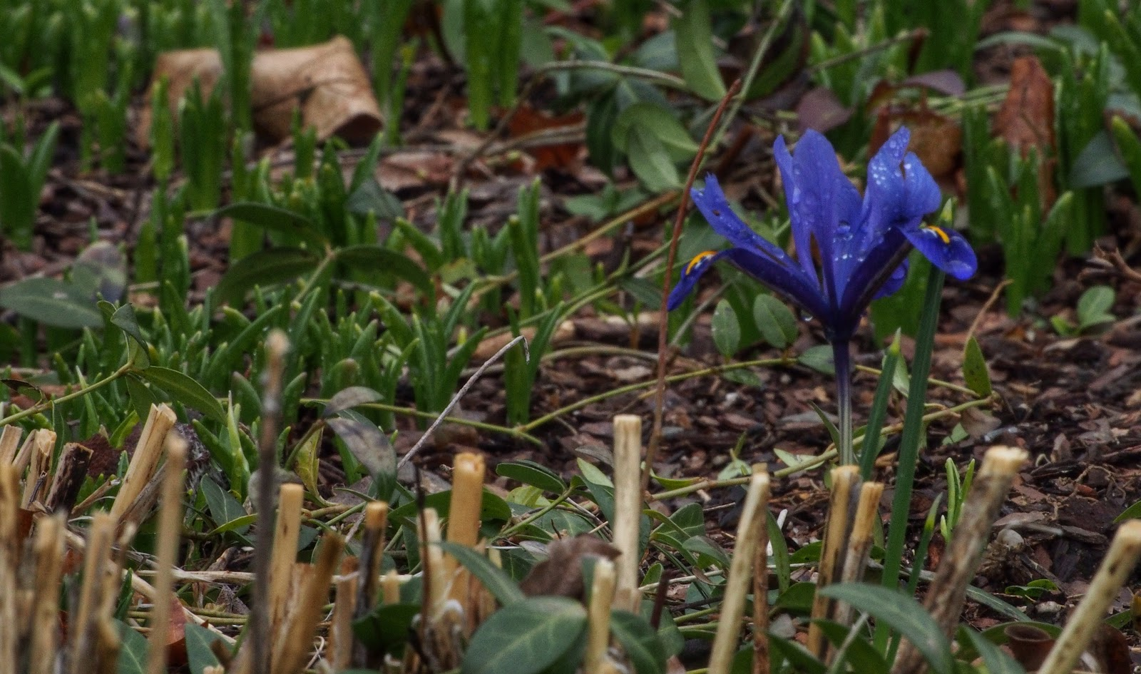 Iris Reticula #iris #conservatorygarden #nyc #centralpark 2014