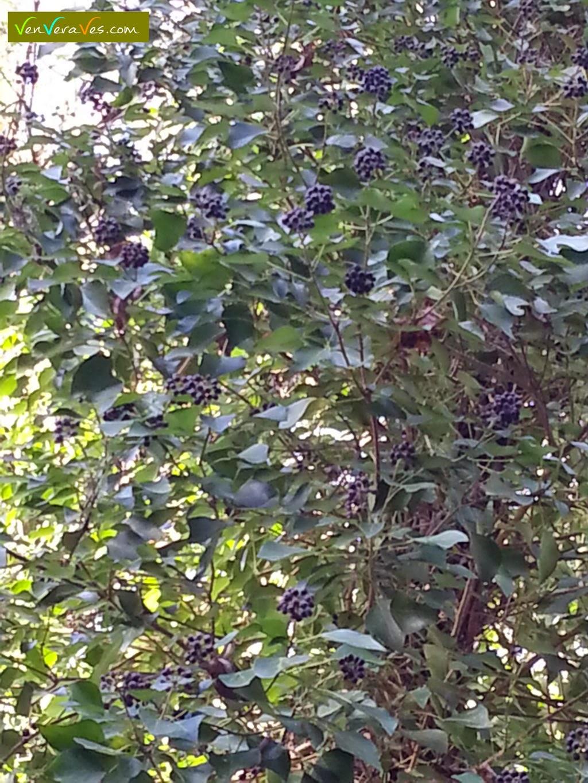Unha hedra chea de froitos maduros