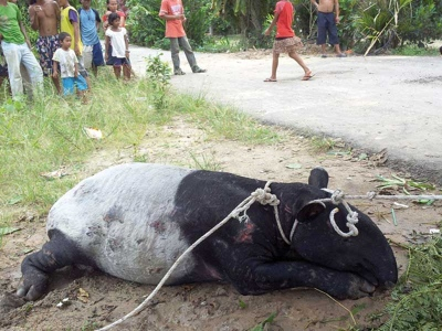 Tapir yang ditemui sesat ke perkampungan Orang Asli Bukit Payung, kelmarin.