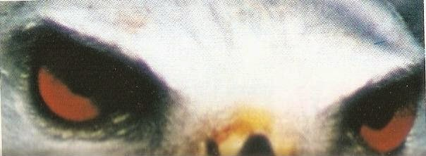 Los Rojos Ojos del Elanio Azul