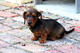 Dachshund Puppy Picture