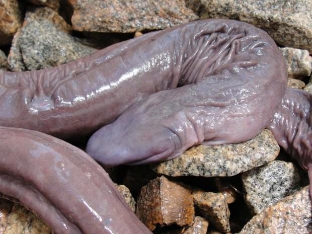 Nova Espécie de Anfíbio que Parece com Cobra é Descoberta na Guiana Francesa