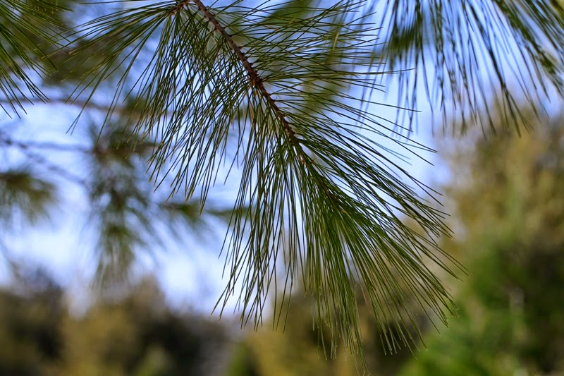 beautiful long-needled pine trees at O'Gara's tree farm