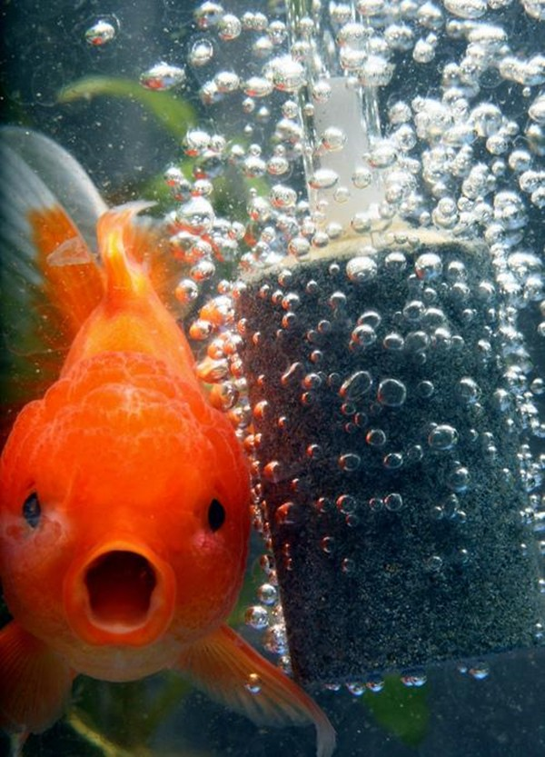 funny animal pictures, goldfish bubble o