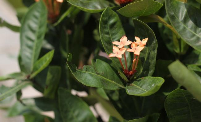 Ixora Flowers Pictures