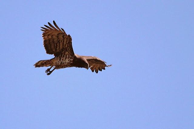 aguia cobreira buscando presas dende o aire