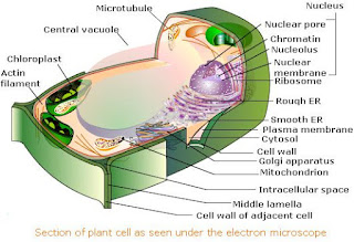 Electron microscopic structure of a plant cellPlant Cell Lysosome Located
