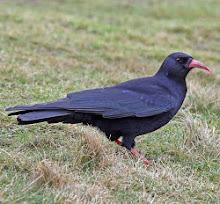 HEYSHAM BIRD OBSERVATORY