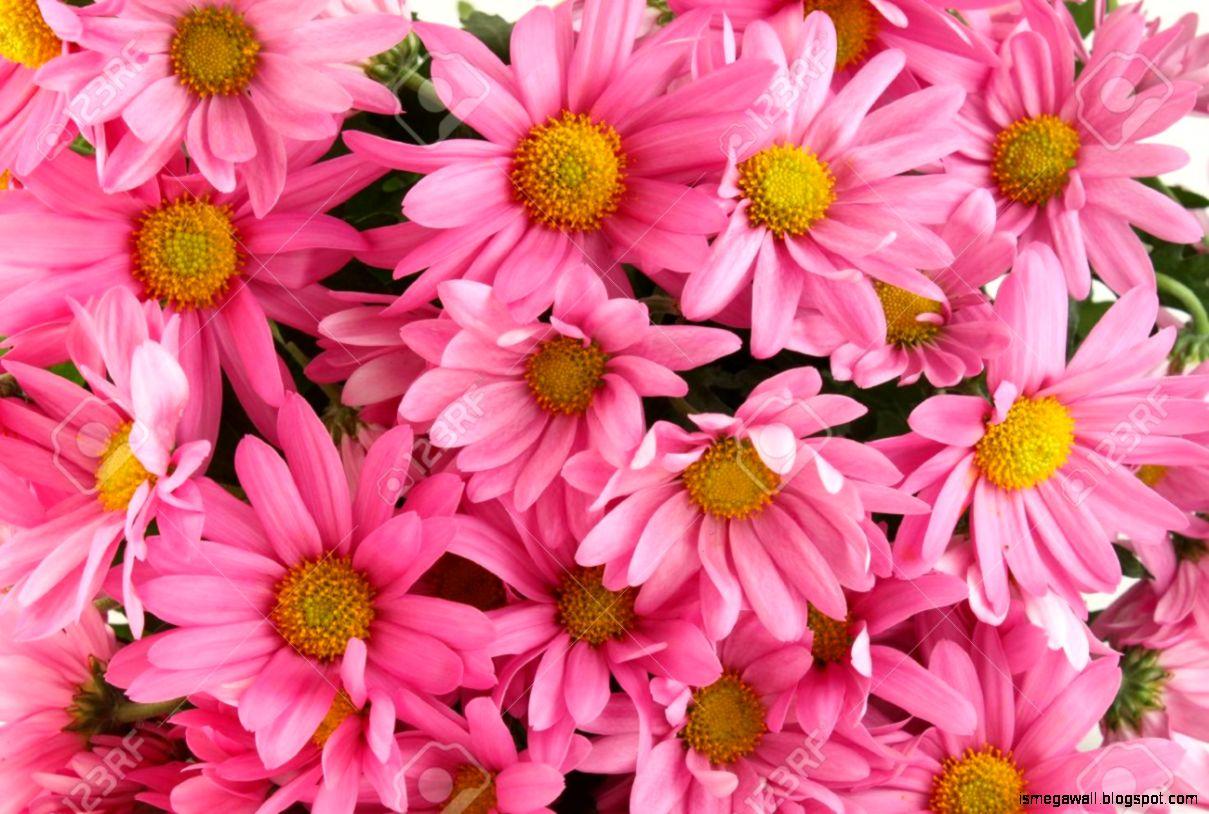 Three Pink Daisies Flower Mega Wallpapers