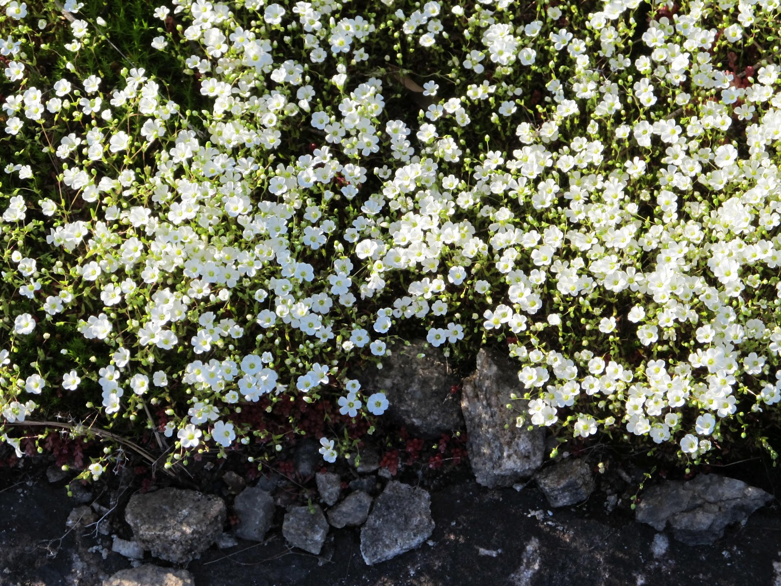 These Flowers Are Oneflower Schwort But I Will Always Think Of Them As The Little White Which Give Me Great Joy My Name For Be