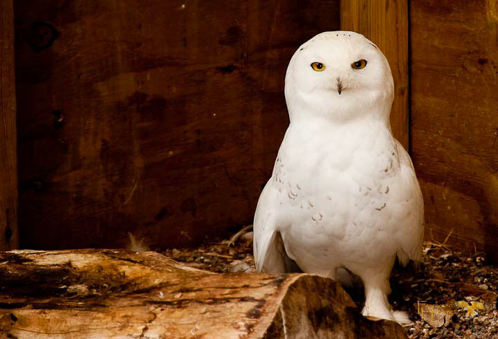 This snowy owl is one of the many residents cared for by the incredible staff at Raptor Education Group Inc.Photo by Lisadawn Schram, Feathered Hope.Net