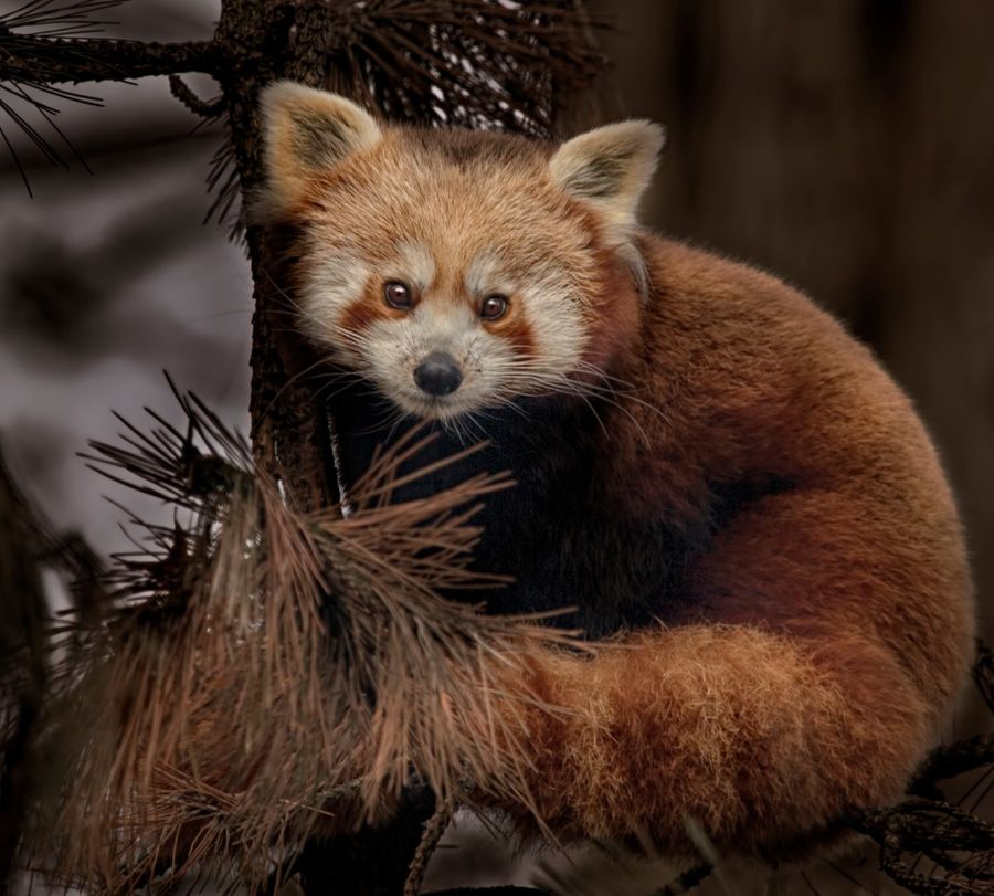 27. Red panda by Aya de Ruiter
