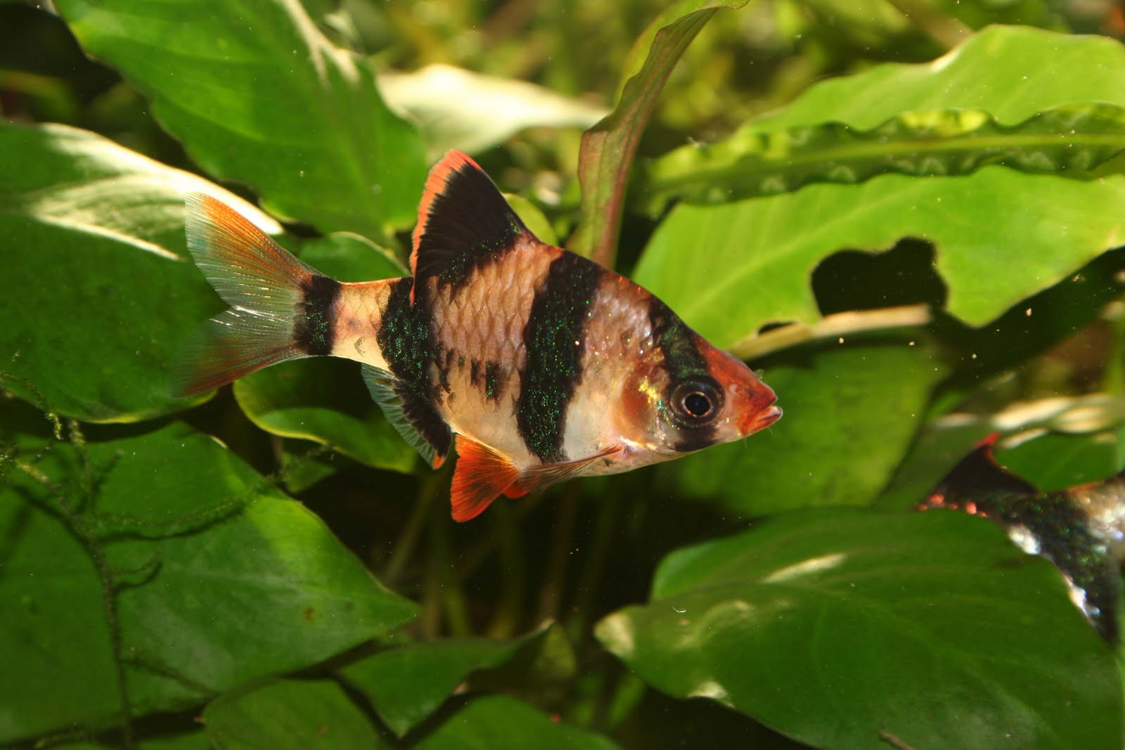 nature lover tiger barb