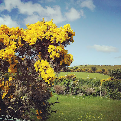 Gorse growing in County Kerry, Ireland. Photo by Elena Rosenberg.