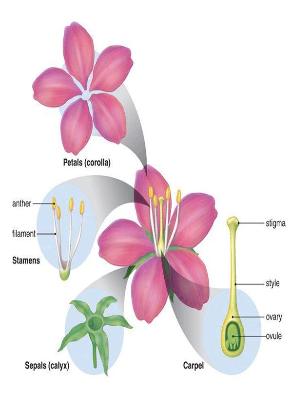 lamina para aprender las partes de la flor
