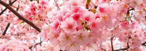Beucure Sakura Candy Kulit CERAH Merah Jambu seluruh badan