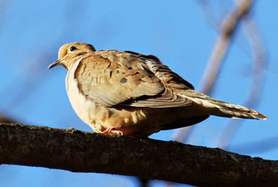 Mouring Dove