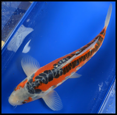 Koi to the world featured koi 12 shusui bred by for Koi to the world