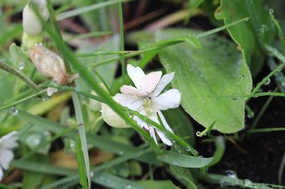 Silene uniflora – Sea Campion (#100)