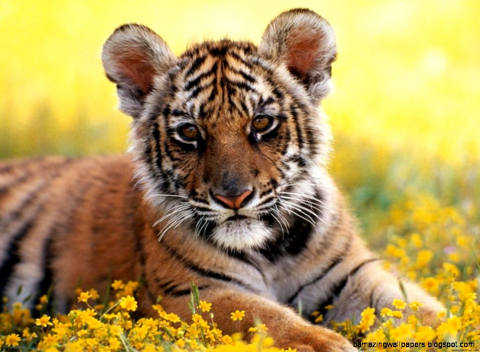 Baby Tiger Photos   HD Wallpapers Lovely