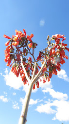Kalanchoe daigremontiana em fores