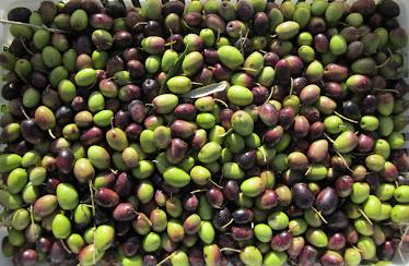 Olivos-Varietal Arauco