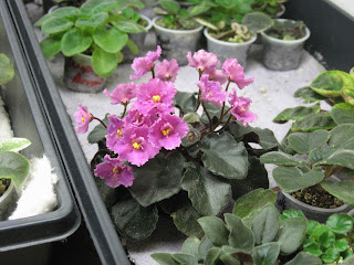 African Violet Rob S Hot Chocolate