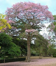 Árbol Nacional de El Salvador.