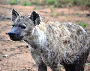 Hyena
