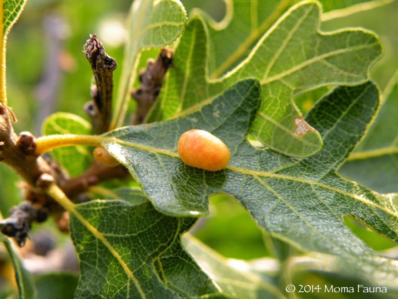 Gambel Oak (Quercus gambelii) with a Cynipid wasp gall?