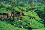 Morfologi Tanaman Teh, Manfaat daun teh, Khasiat Daun Teh, tanaman teh, kandungan teh, kasiat daun teh, manfaat teh untuk wajah, daun teh