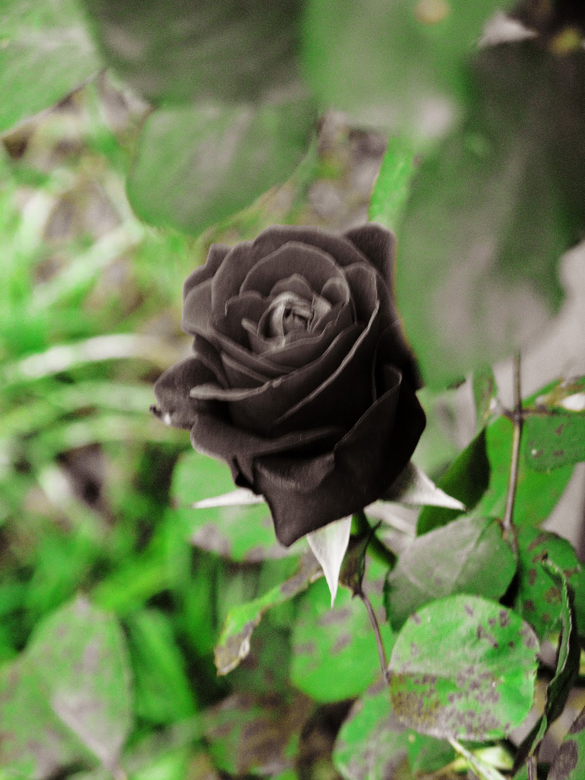 Real Black Roses |Rose Wallpapers