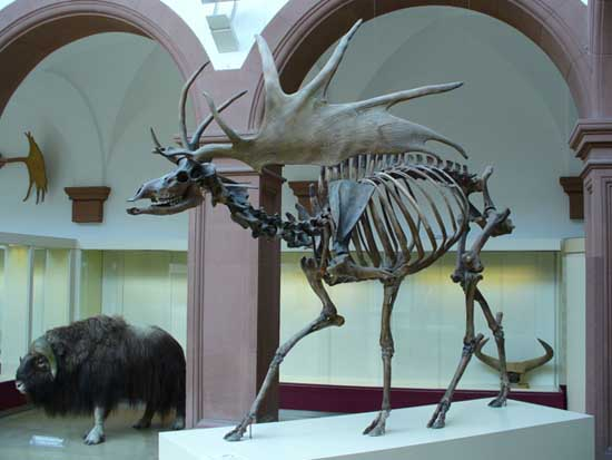 Most Amazing Extinct Land Animals Irish Deer Fossil
