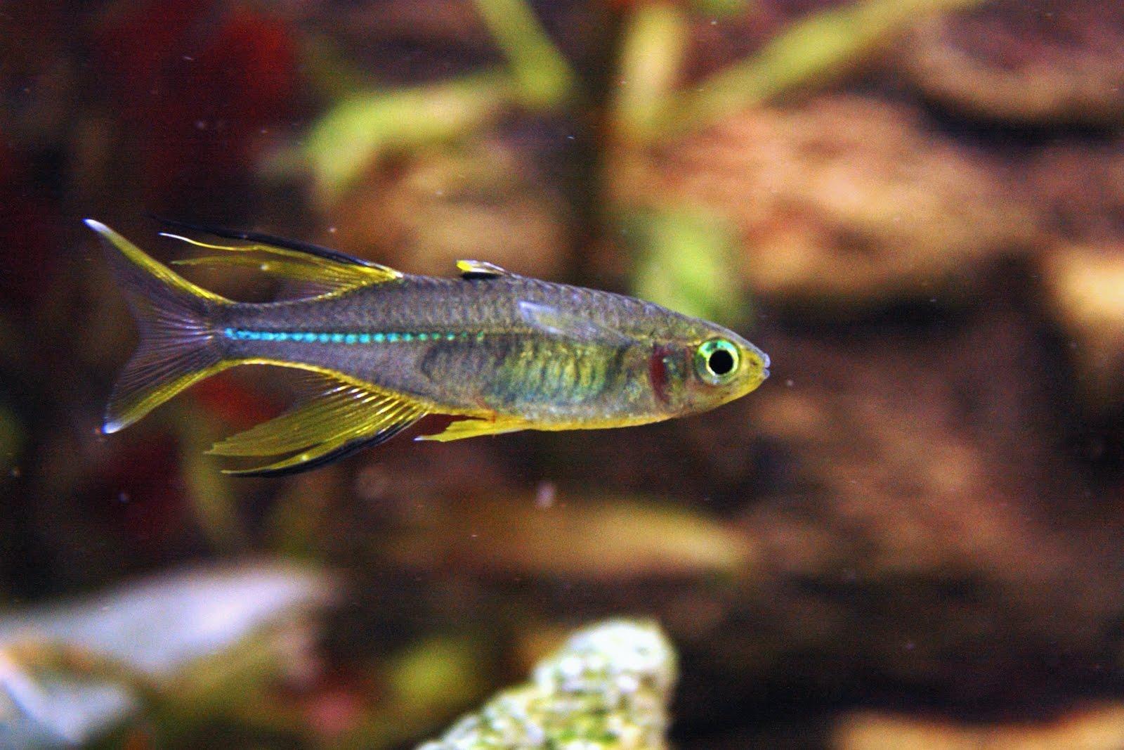 Celebes Rainbow ~ Aquatic Animals