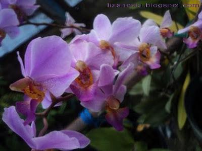 anggrek, fotografi, bunga