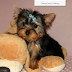Essential Points to Get Morkie Puppies for Sale
