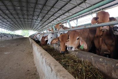 Đàn bò mới được nhập về có trọng lượng khoảng 250kg mỗi con, được nuôi trong chuồng với thức ăn công thức.