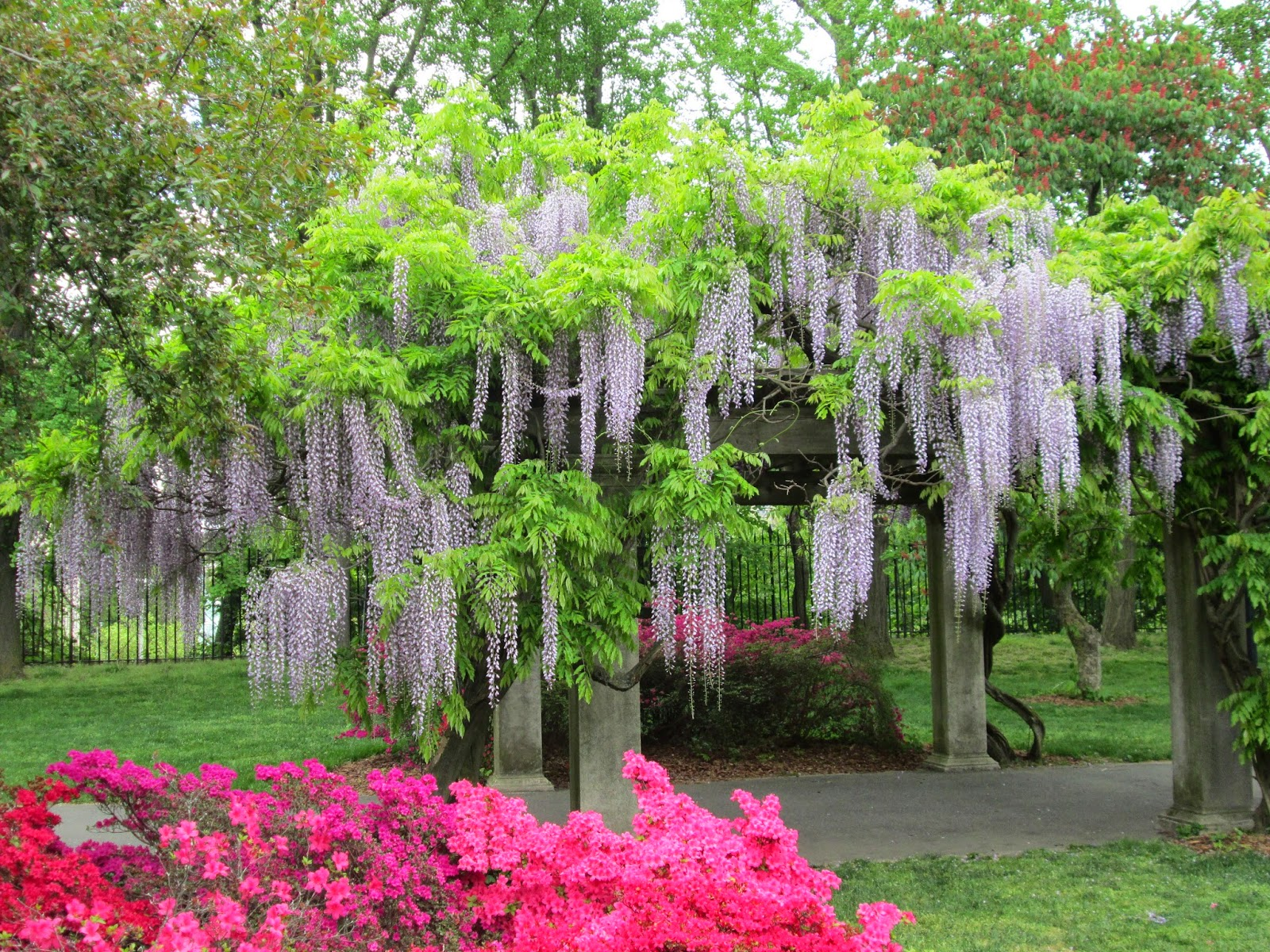 everything just so azaleas and japanese wisteria at the brooklyn botanic garden. Black Bedroom Furniture Sets. Home Design Ideas