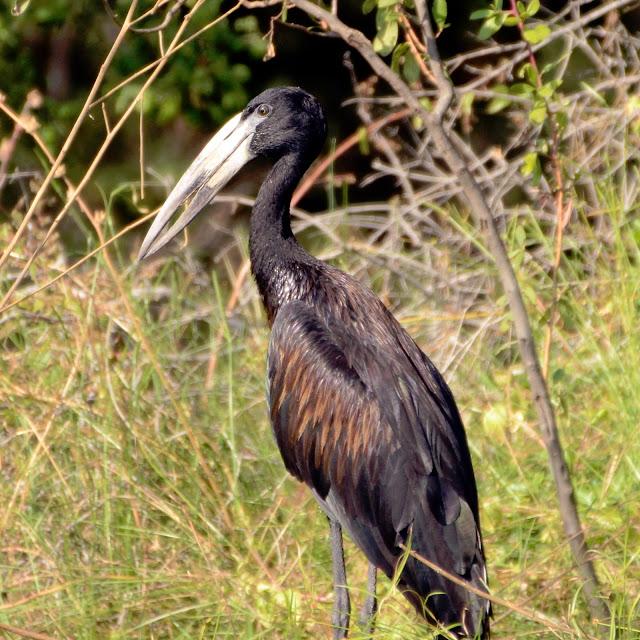 African Open-bill Stork