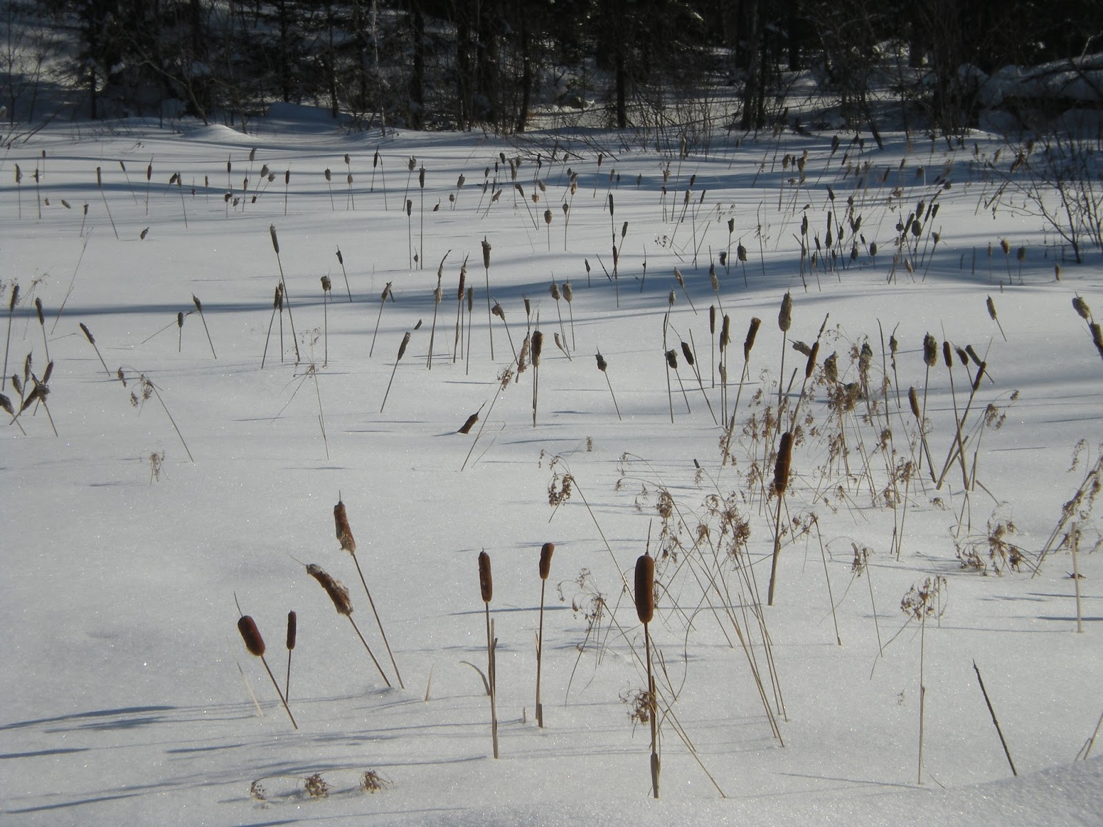 cattails, snow, winter, northern, minnesota, blue, sky