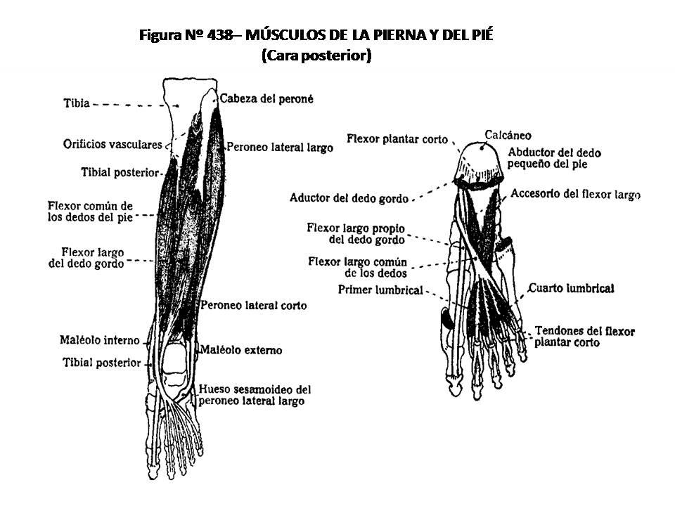 ATLAS DE ANATOMÍA HUMANA: 438. MÚSCULOS DE LA PIERNA Y DEL PIE, CARA ...