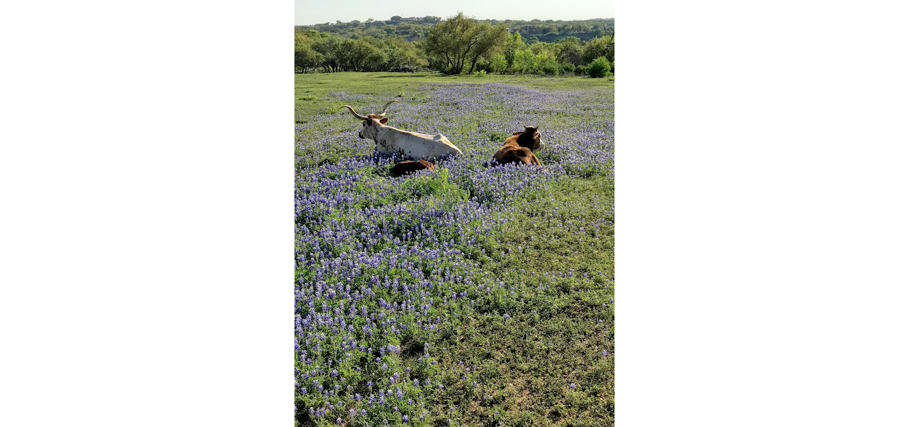 Texas Longhorns with newborn calf in Bluebonnets