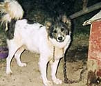 dog chained 3