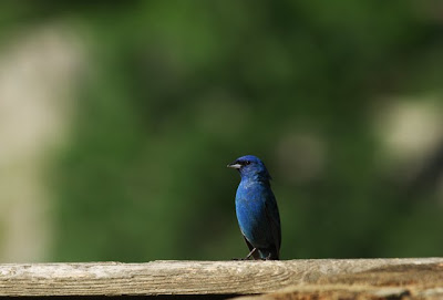 Indigo bunting along the C&O Canal towpath