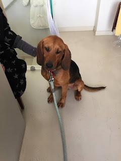 Βρέθηκε στη Βούλα αρσενικό σκυλάκι στειρωμένο. Το αναζητά κανείς?