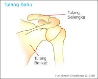 tulang selangka tulang belikat